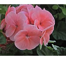 GERANIUMS Photographic Print