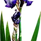 Lovely Purple Iris by Susan Savad