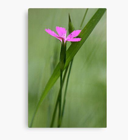 Deptford Pink - Dianthus Canvas Print