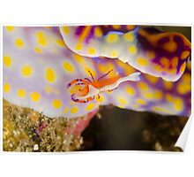 Emperor Shrimp - Zenopontonia rex Poster