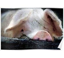 Peeking Pig Poster