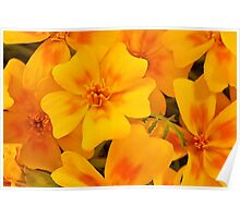 Tagette Blossoms Macro Poster