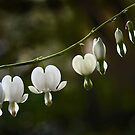 White Bleeding Hearts by cclaude