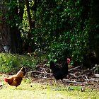 My free Range Bantam Hens by MardiGCalero