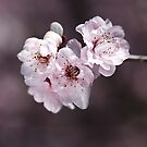 Over a Blossom Cloud by Joy Watson