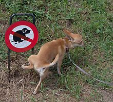 Charlie Chihuahua Cannot Read Signs by Mythos57