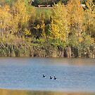 Geese in Fall by caybeach