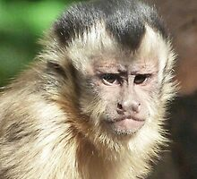 Concentrating Capuchin by Margaret Saheed