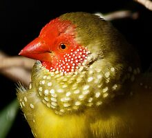 Male Star Finch by Margaret Saheed