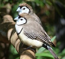 Double-barred Finch Togetherness by Margaret Saheed