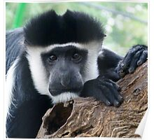 Watchful Black And White Colobus Poster