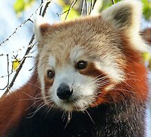 Nepalese Red Panda Portrait by Margaret Saheed