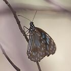 Scarce Blue Tiger butterfly  by Margaret Stanton