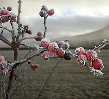 Frosty Rosehips - Foggy Morning by Babz Runcie