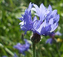 cornflower - wildflower bank by Babz Runcie