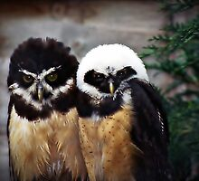 Baby B&W Owlets by Malcolm Chant