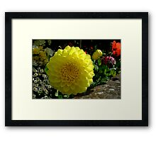 yellow dahlia in the border Framed Print