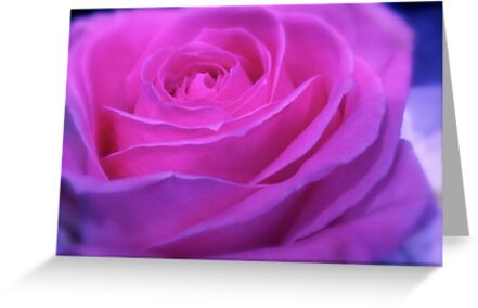 VIVID PINK ROSE by Colleen2012
