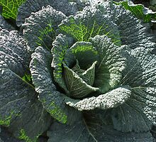 Cabbage at Harmony Garden by Babz Runcie