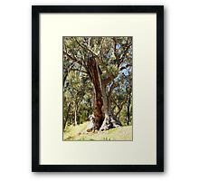 Old gum tree. Framed Print