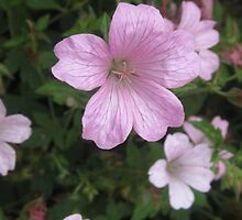 CRANESBILL - GERANIUM  by Colleen2012