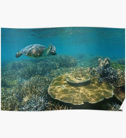 A green sea turtle underwater over coral reef Poster