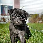 Black Pug by Keala