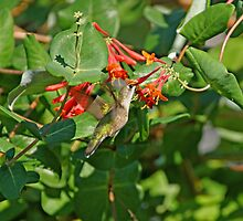 Hummingbird in Afternoon by Sandy Keeton