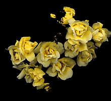 Yellow Roses by ZetaOfS