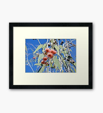 Pink gum tree blossoms and bees Framed Print