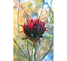 Giant Gymea Lily Flower Photographic Print