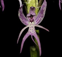 Orchis italica by andrachne