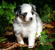 Toy Australian Shepherd Puppy by blueribbons