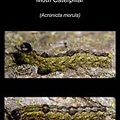 The Ochre Dagger Moth Caterpillar by DigitallyStill