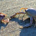 Mottled Purse Crabs by ©Dawne M. Dunton