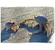 Mottled Purse Crabs Poster