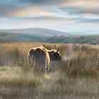 Winter Highland cattle by Andrew Bret Wallis