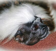 Cotton-top Tamarin by Cynthia48