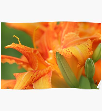 Red-Orange Flower Poster