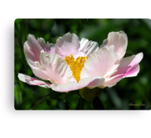 A Single Form Peony Called Horizon Canvas Print