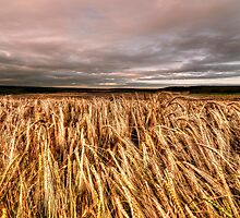 Fields Of Gold by © Steve H Clark Photography