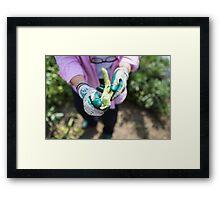 Fresh beans straight from the vegetable garden Framed Print