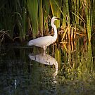 Great Egret - Herdsman Lake, Selby. W.A. by Sandra Chung