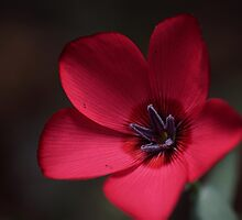 red Flax Linum by stresskiller