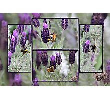 The Attraction of Lavender Photographic Print