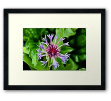 Cornflower in Fractalius Framed Print