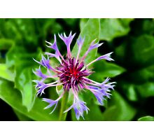 Cornflower in Fractalius Photographic Print