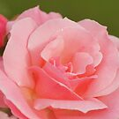 pink rose and buds by Joyce Knorz
