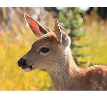 Black-tailed fawn on Hurricane Ridge, Olympic National Park Photographic Print