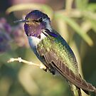 Costa hummingbird by loiteke